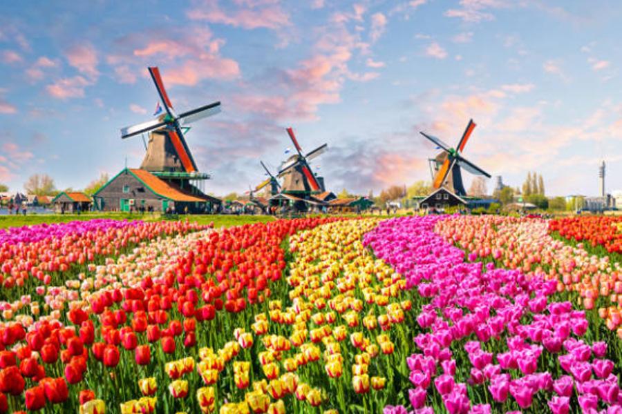 3dutcherfamers-holland-tullips